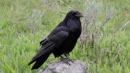 Stock Video Footage of Large raven watching
