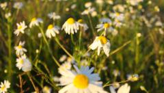 Walking through the field of daisy flowers Stock Footage