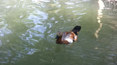 Brown feathered duck swimming in a pond Stock Footage