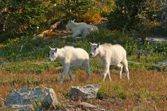 mountain goat kids - stock photo