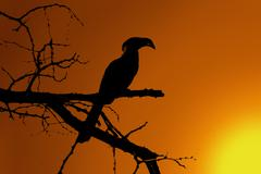 southern yellow-billed hornbill sunset silhouette - stock illustration