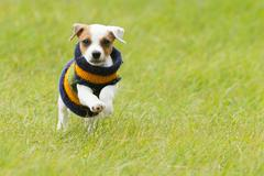 Stock Photo of Parson Jack Russell Terrier 8 Weeks Puppy Running Outdoor