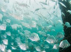 Atlantic ocean species of fish Stock Photos