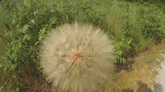 Large Dandelion Seed Head, Closeup Stock Footage