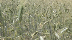 Field of wheat - stock footage