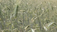 Stock Video Footage of Field of wheat