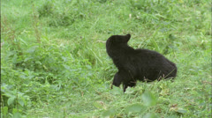 Bear,Black,Cub runs,brush,river,Ak Stock Footage