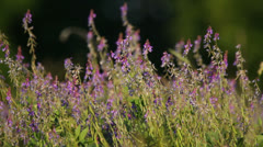 Beautiful purple wild flowers in natural meadow with a bee Stock Footage