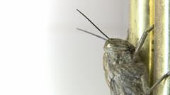 Locust head - stock footage