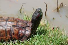 Close up of asian box turtle. Stock Photos