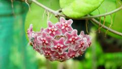 Red hoya flower and bee. Stock Footage