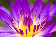 Stock Photo of purple water lilly