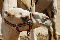 Wildlife photos - arabian camel Stock Photos