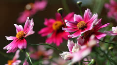 Pink coreopsis flowers Stock Footage