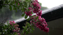 Rain fallen on crape myrtle Stock Footage
