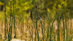 Horsetails Stock Footage