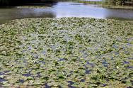 A river of water lilies Stock Photos