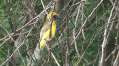 Yellow bird on tree01 Stock Footage