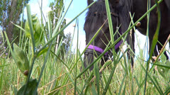 Black horse eats grass Stock Footage