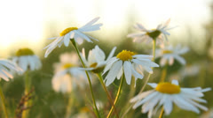 Close-up of beautiful white chamomile flowers, soft lighting Stock Footage