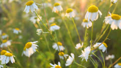 Warm atmospheric shot of white daisy flowers with sun rays during sunset Stock Footage