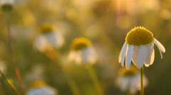 Close-up of white daisy flowers, chamomile flowers in the evening, panning Stock Footage