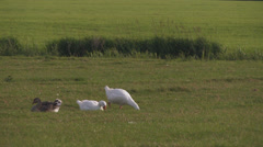 Geese strolling in grass, Friesland, the Netherlands - stock footage