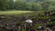 Mushroom in the green grass grows on the slopes of the Carpathian Mountains Stock Footage