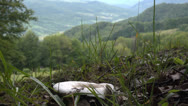 Stock Video Footage of Mushroom in the green grass grows on the slopes of the Carpathian Mountains