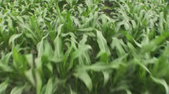 Stock Video Footage of Cornfield Sweet Corn Aerial