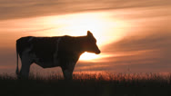 Stock Video Footage of Cow at sunset grazing