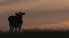 Cow stroling on grassy hill at sunset - stock footage