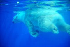Polar Bear at zoo Stock Photos