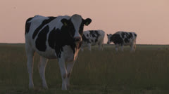 Cow in front; group of cows walk by in background Stock Footage
