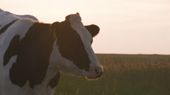 Cow at sunset, breath vapor Stock Footage