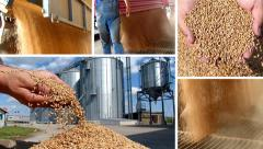 Wheat grain of successful farmer Stock Footage