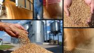 Stock Video Footage of Wheat grain of successful farmer