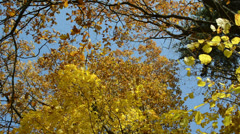 Various autumn tree branch yellow leaf move wind cloudy sky Stock Footage