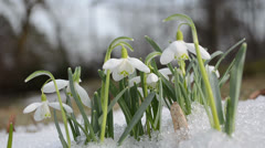 First spring snowdrop flower in snow closeup Stock Footage