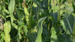 Corn ear spadix closeup move wind garden Stock Footage