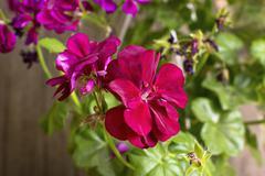 Stock Photo of red geranium flowers in bloom.