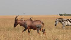 Zebras and Topi Antelope in the Mara 2 Stock Footage