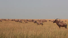 Long Distance Shot of a Herd of Topi Antelopes in the Mara   (HD) Stock Footage