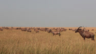 Stock Video Footage of Long Distance Shot of a Herd of Topis in the Mara   (HD)