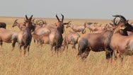 Stock Video Footage of Herd of Topis in the Masai Mara Migration  (HD)