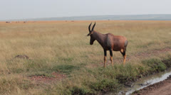 Topi Antelope Stops to Drink Muddy Water Near Road Stock Footage