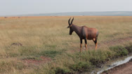 Stock Video Footage of Lone Topi in the Mara