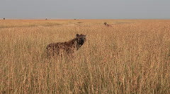 Hyenas in the Masai Mara Stock Footage