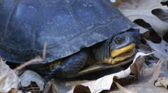 Blanding's Turtle close-up Stock Footage