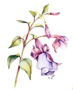 Watercolor with Fuchsia - stock illustration